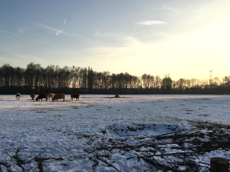 sneeuw koeien.jpg